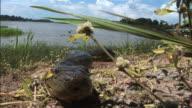 Medium Long Shot static - An anaconda slithers along a riverbank. / Brazil