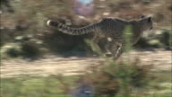 Medium Long Shot tracking-left tracking-right - A cheetah runs fast over a trail in a grassland / South Africa