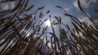 Medium low angle shot stalks of wheat silhouetted against a blue sky with clouds and a bright sun sway in a light breeze
