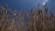 Medium low angle shot stalks of wheat stand against a blue sky