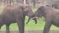 Medium pan-left pan-right - Two elephants fight each other / Kenya
