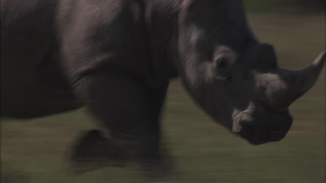 Medium pan-right - A rhinoceros trots across a grassy field. / Kenya