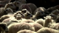 Medium pan-right - Sheep are clustered together in Greece. / Greece