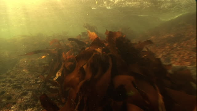 Medium push-in - Kelp sways in the current as sunshine filters through the water.