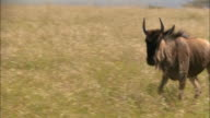 Medium shot 2 wildebeests running side by side through tall grass / Masai Mara, Kenya