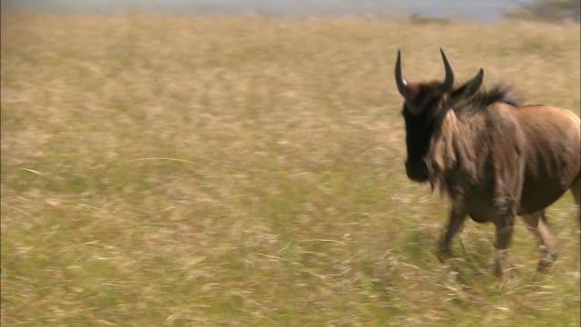 Medium shot 2 wildebeests running side by side through tall grass / Masai Mara, Kenya
