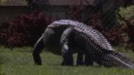 Medium Shot - Alligator walks across suburban lawn /