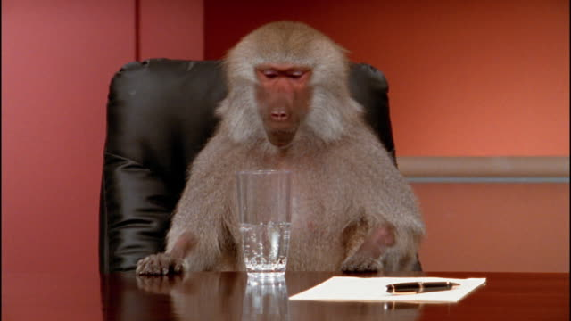 Medium shot baboon making noise at conference table / drinking and spilling glass of water