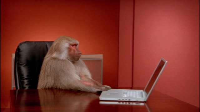 Medium shot baboon pulling laptop closer to himself / pushing it off desk