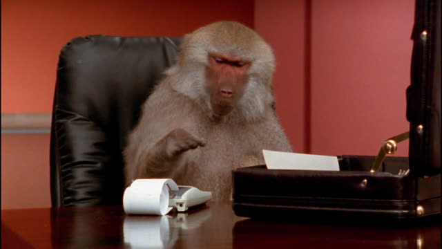 Medium shot baboon sitting at desk pounding on keys of calculator