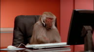 Medium shot baboon wearing headset and pounding on computer keyboard / zoom in to close up / zoom out taking off headset