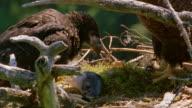 Medium shot bald eagle parent in nest / tilt down chick eating salmon / tilt up parent / Alaska