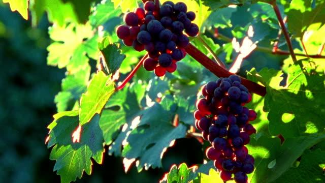 Medium shot bunches of grapes hanging on vine/ Barboursville, Virginia