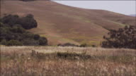 Medium shot, camera pans gentle breeze blows tall grass, rolling hills, Northern California, beautiful Spring day