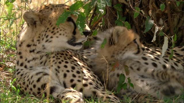 Medium shot cheetah cub resting on mother cheetah / rolling over / Masai Mara, Kenya