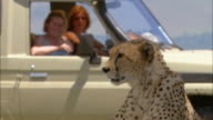Medium shot cheetah with women in jeep looking through binoculars in background / Masai Mara Nat'l Reserve, Kenya
