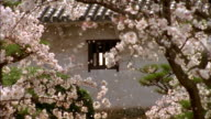 Medium shot cherry blossoms being blown by the wind in courtyard of Himeji Castle with cherry trees  / Himeji, Japan