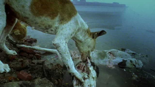 Medium shot dog eating meat off of animal skull near water in fog and looking at camera with ship in background / India