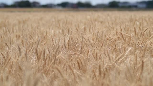 Medium shot ears of wheat in a field sway in a light breeze