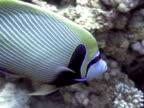 Medium shot Emperor fish swimming along.