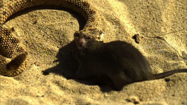 Medium Shot High Angle Slow Motion - Snake struggles to kill a mouse / Costa Rica