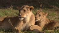 Medium shot lion cub grooming mother with tongue / mother rolling over and playing w/ cub / Masai Mara, Kenya