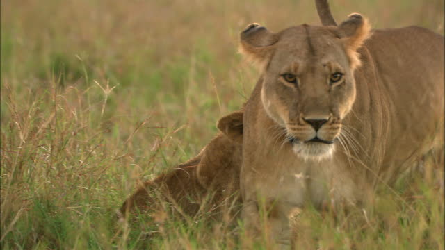 Medium shot lioness batting and biting cub / looking at CAM / pan lioness walking off CAM / Masai Mara, Kenya