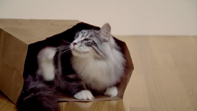 Medium shot Maine Coon cat sitting in paper bag/ California