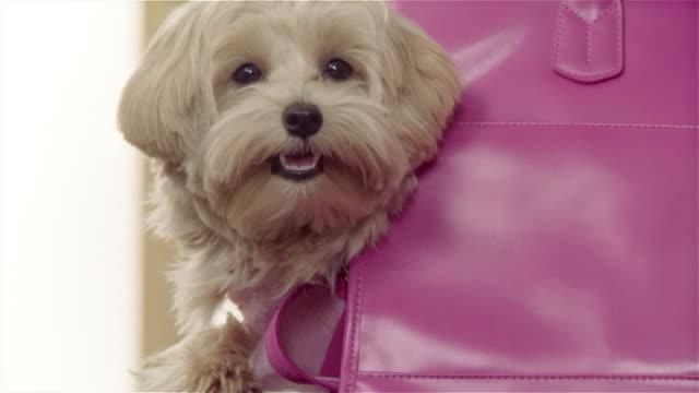 Medium shot Maltese-Toy Poodle mix being carried in pink shoulder bag