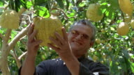 Medium shot man in garden holding huge lemon hanging from tree and smiling at CAM / Amalfi Coast, Italy