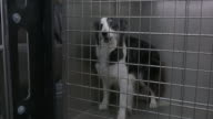 A medium shot of a black and white dog locked in a cage barking and turning circles.