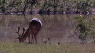 Medium shot of a buck deer grazing at the edge of a lake.