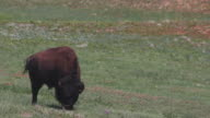 Medium Shot of a buffalo grazing in a field in Wind Cave National Park