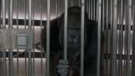 A medium shot of an angry gorilla in cage. Animatronic human-operator