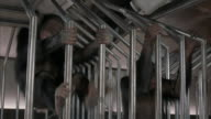 A medium shot of angry chimpanzees trapped in a cage.
