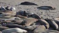 Medium Shot of elephant seals laying on the beach at Point Piedras Blancas