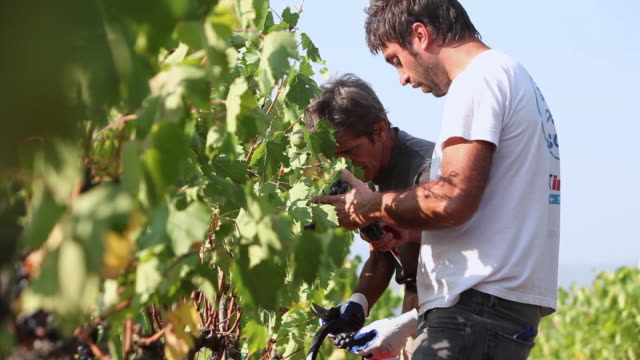 Medium shot of men harvesting grapes in vineyard