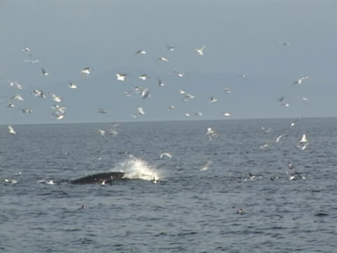 Medium shot of Minke Whale lunging left to right with gulls on water and in air.