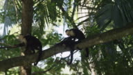 Medium shot of monkey grooming another monkey in tree / Esterillos, Costa Rica
