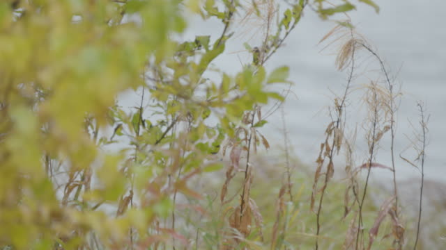 Medium shot of tall grass and bushes on the shore of Lake Hood