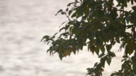 Medium shot of tree branches swaying in the wind in front of the water