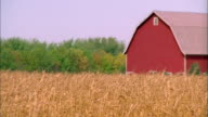 Medium shot pan wheat field / red barn in background