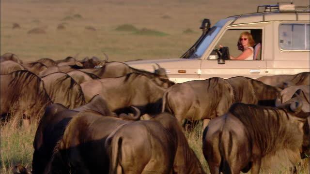Medium shot pan woman driving safari vehicle through herd of grazing wildebeests / Masai Mara, Kenya