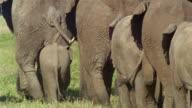 Medium shot rear view of elephants walking in a line / Africa