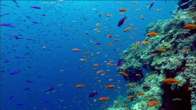Medium shot schools of purple and orange anthias swimming by coral / changing direction / Coral Sea / Australia