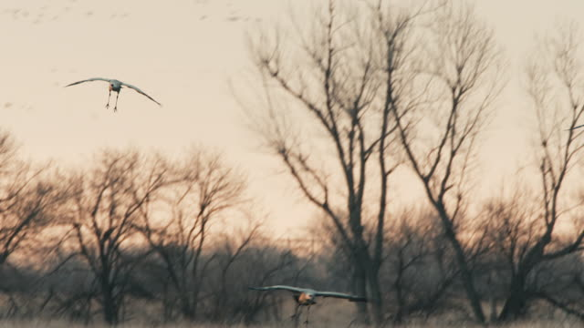 Medium shot - several Sandhill Cranes land in the Platte River, join a larger group roosting for the night.