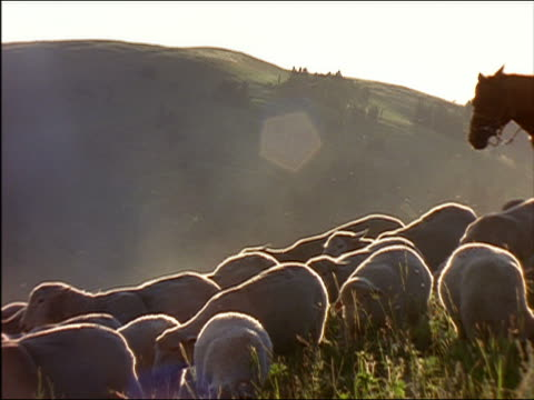 Medium shot shepherd herding flock of sheep on hillside at sunset / Idaho