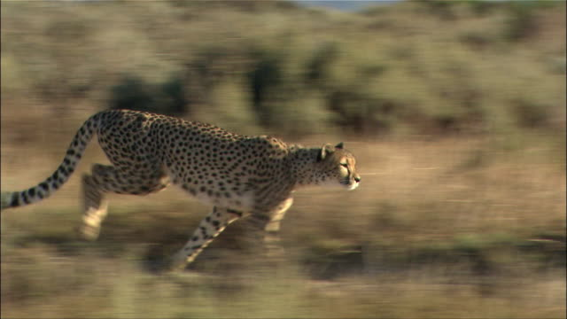 Medium shot side view of cheetah sprinting through grass / Cape Town, South Africa