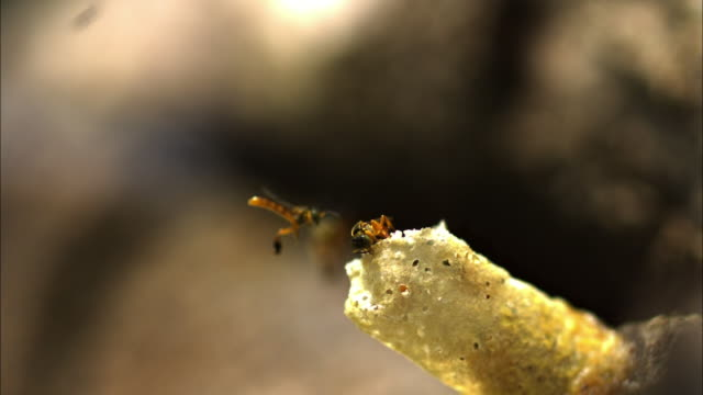 Medium Shot Slow Motion -  Stingless bee lands on nest where other Stingless bees are working / Costa Rica