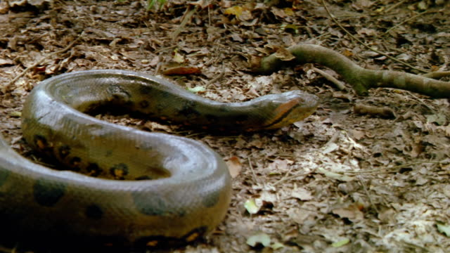 Medium shot snake slithering along the ground / Venezuela